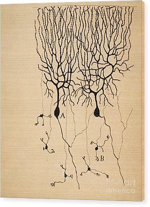 Purkinje Cells By Cajal 1899 Wood Print by Science Source
