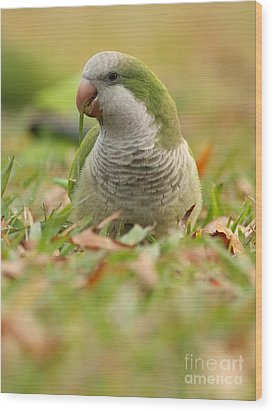 Quaker Parrot #3 Wood Print by David Cutts
