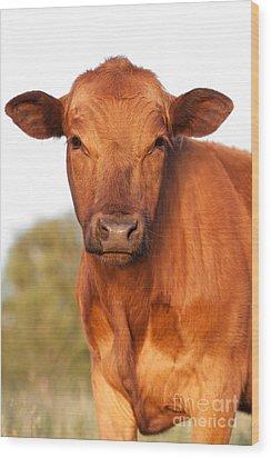 Red Angus Cow Wood Print by Cindy Singleton