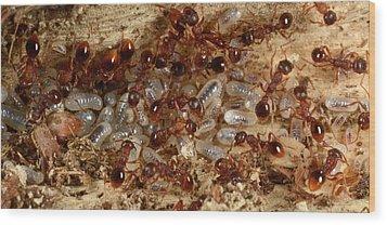 Red Ants With Larvae Wood Print by Nigel Downer