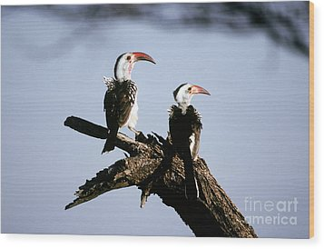 Red-billed Hornbills Wood Print by Art Wolfe