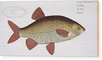 Red Carp Wood Print by Andreas Ludwig Kruger