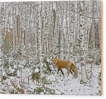 Red Fox In Birches Wood Print by Jack Zievis