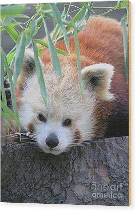 Red Panda Wood Print by Karol Livote