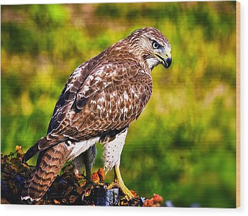 Red Tail Hawk Wood Print by Michael Toy