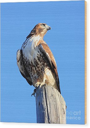 Red-tailed Hawk . 40d10167 Wood Print by Wingsdomain Art and Photography