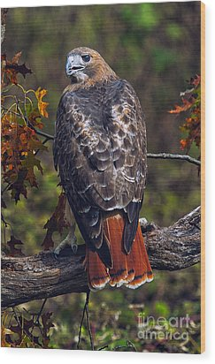 Red Tailed Hawk Wood Print by Todd Bielby