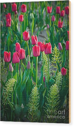 Red Tulips In Skagit Valley Wood Print by Inge Johnsson