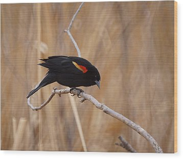 Red Winged Blackbird 1 Wood Print by Ernie Echols