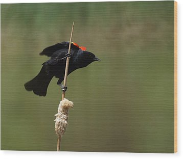 Red Winged Blackbird 3 Wood Print by Ernie Echols