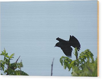 Red Winged Blackbird In Taking Off Wood Print by Andrew Lahay