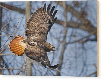 Redtail Hawk Wood Print by Bill Wakeley