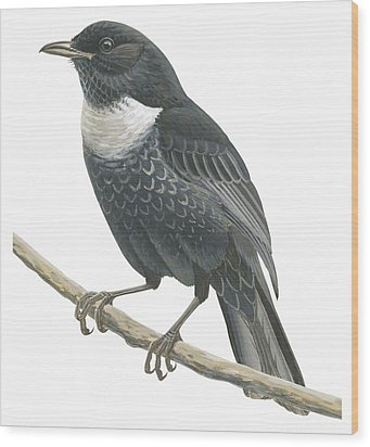 Ring Ouzel  Wood Print by Anonymous