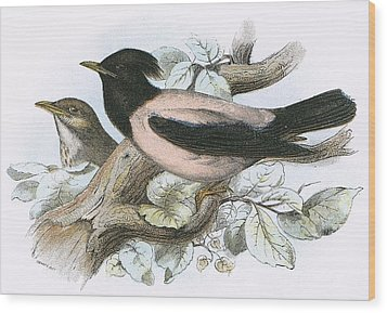 Rose Coloured Starling Wood Print by English School