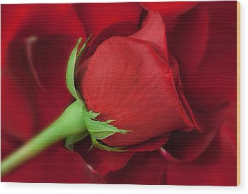 Rose II Wood Print by Andreas Freund