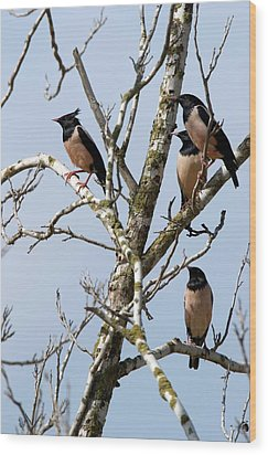 Rosy Starling (sturnus Roseus) Wood Print by Photostock-israel