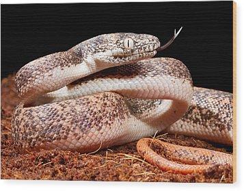 Savu Python In Defensive Posture Wood Print by David Kenny