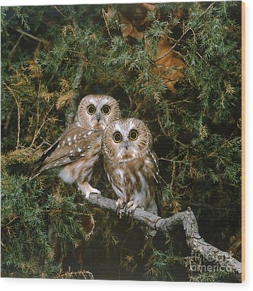 Saw-whet Owls Wood Print by G Ronald Austing
