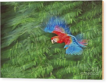 Scarlet Macaw Juvenile In Flight Wood Print by Frans Lanting MINT Images