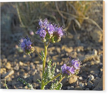 Scorpionweed Wood Print by Feva  Fotos