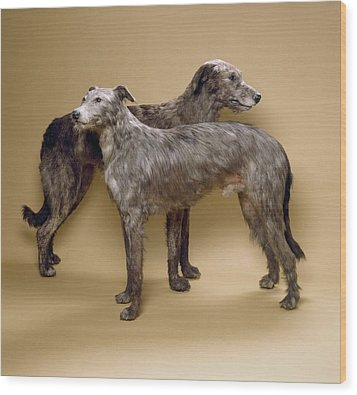 Scottish Deerhounds, Stuffed Specimens Wood Print by Science Photo Library