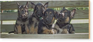 Shepherd Pups 2 Wood Print by Aimee L Maher Photography and Art Visit ALMGallerydotcom