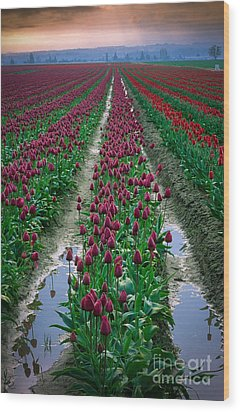 Skagit Valley Tulips Wood Print by Inge Johnsson
