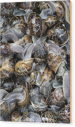 Snails Wood Print by Tim Gainey