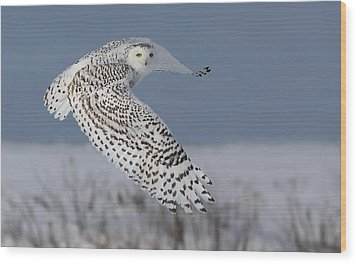 Snowy In Action Wood Print by Mircea Costina Photography