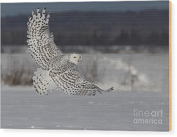 Snowy Owl In Flight Wood Print by Mircea Costina Photography