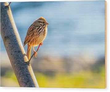 Song Sparrow Wood Print by Bob Orsillo