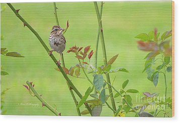 Song Sparrow Wood Print by Rima Biswas