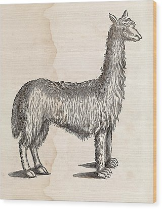 South American Camelid Wood Print by Middle Temple Library