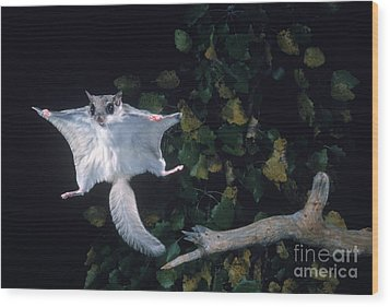 Southern Flying Squirrel Wood Print by Nick Bergkessel Jr