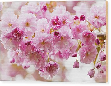 Spring Cherry Blossoms  Wood Print by Elena Elisseeva