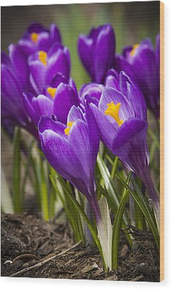Spring Crocus Bloom Wood Print by Adam Romanowicz