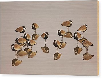 Spur-winged Lapwing (vanellus Spinosus) Wood Print by Photostock-israel