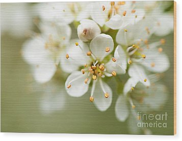 St Lucie Cherry Blossom Wood Print by Anne Gilbert