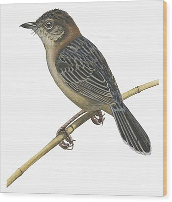 Stout Cisticola Wood Print by Anonymous