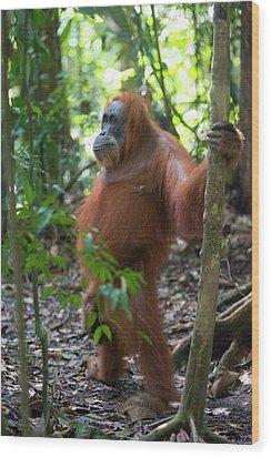 Sumatran Orangutan Wood Print by Scubazoo