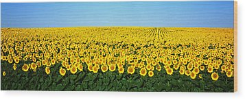 Sunflower Field, North Dakota, Usa Wood Print by Panoramic Images