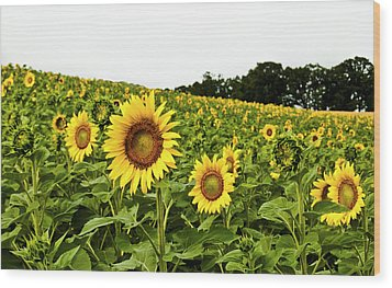 Sunflowers On A Hill Wood Print by Christi Kraft