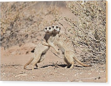 Suricates At Play Wood Print by Tony Camacho