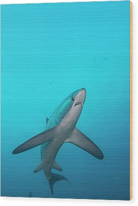 Swimming Thresher Shark Wood Print by Scubazoo