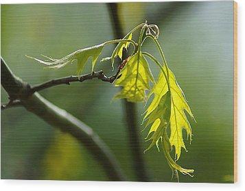 Tender Oak Leaves Emerge Wood Print by Beth Akerman