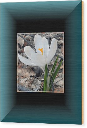 The Beautiful Single Crocus Wood Print by Patricia Keller
