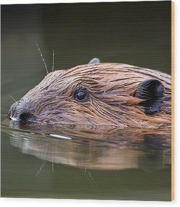 The Beaver Square Wood Print by Bill Wakeley