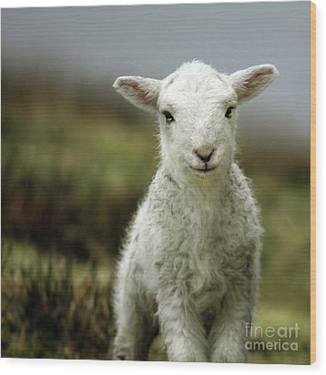 The Lamb Wood Print by Angel  Tarantella