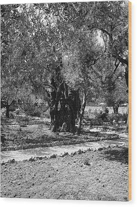 The Olive Tree At Gethsemane Wood Print by Sandra Pena de Ortiz