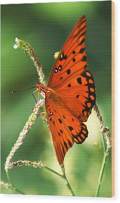 The Passion Butterfly Wood Print by Kim Pate